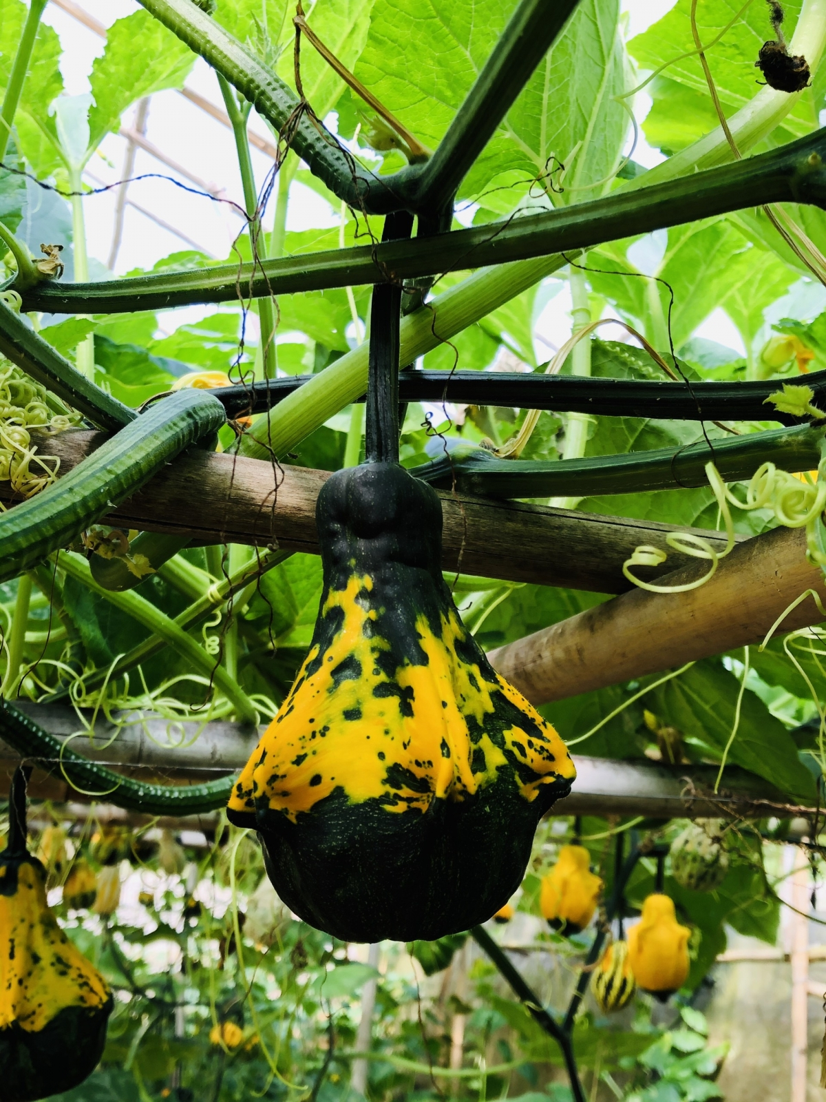 It takes gardeners around one year in order to grow such unique pumpkins and have them ready in the buildup to Halloween.