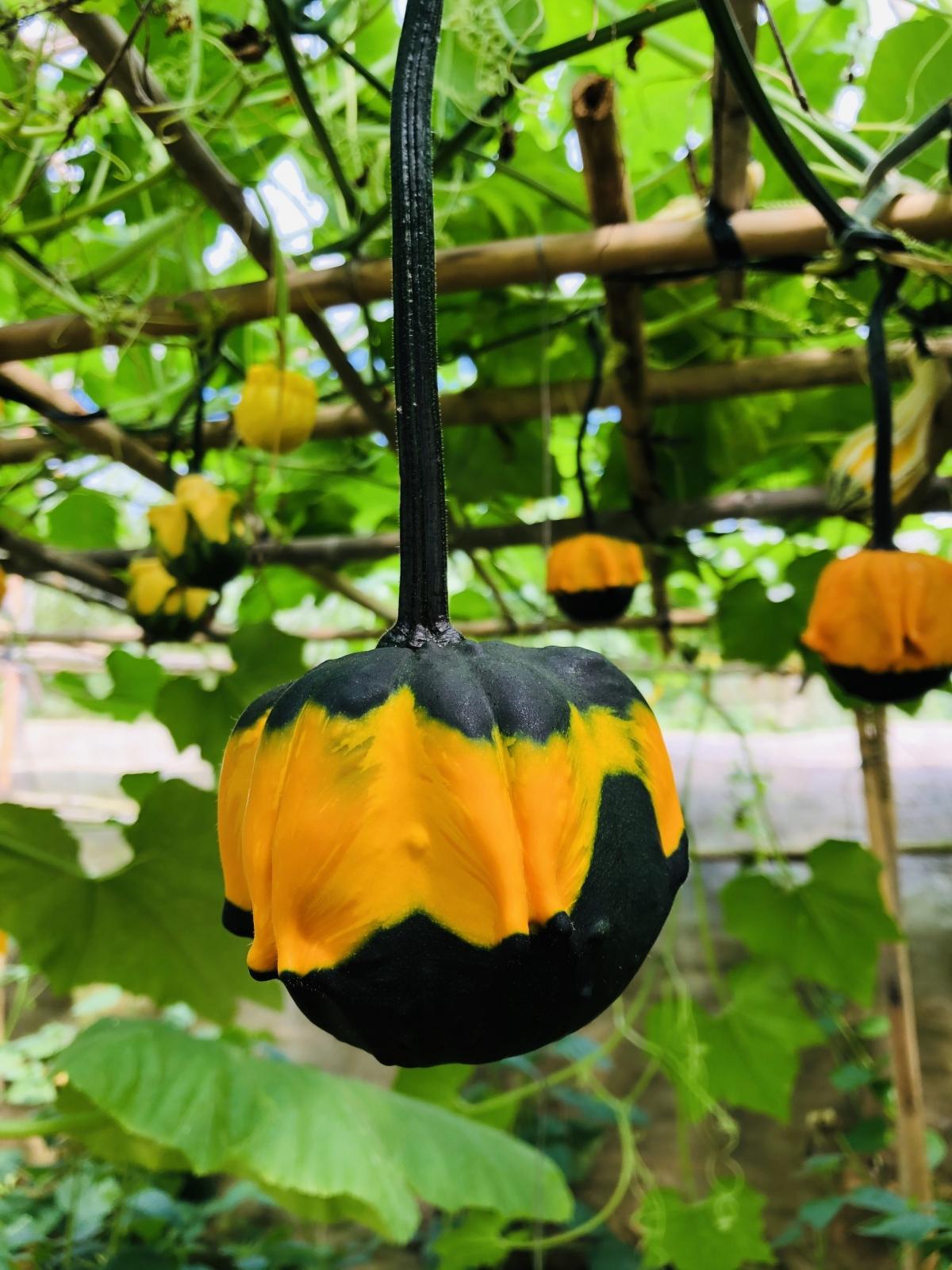 A pumpkin garden costs billions of VND each year.