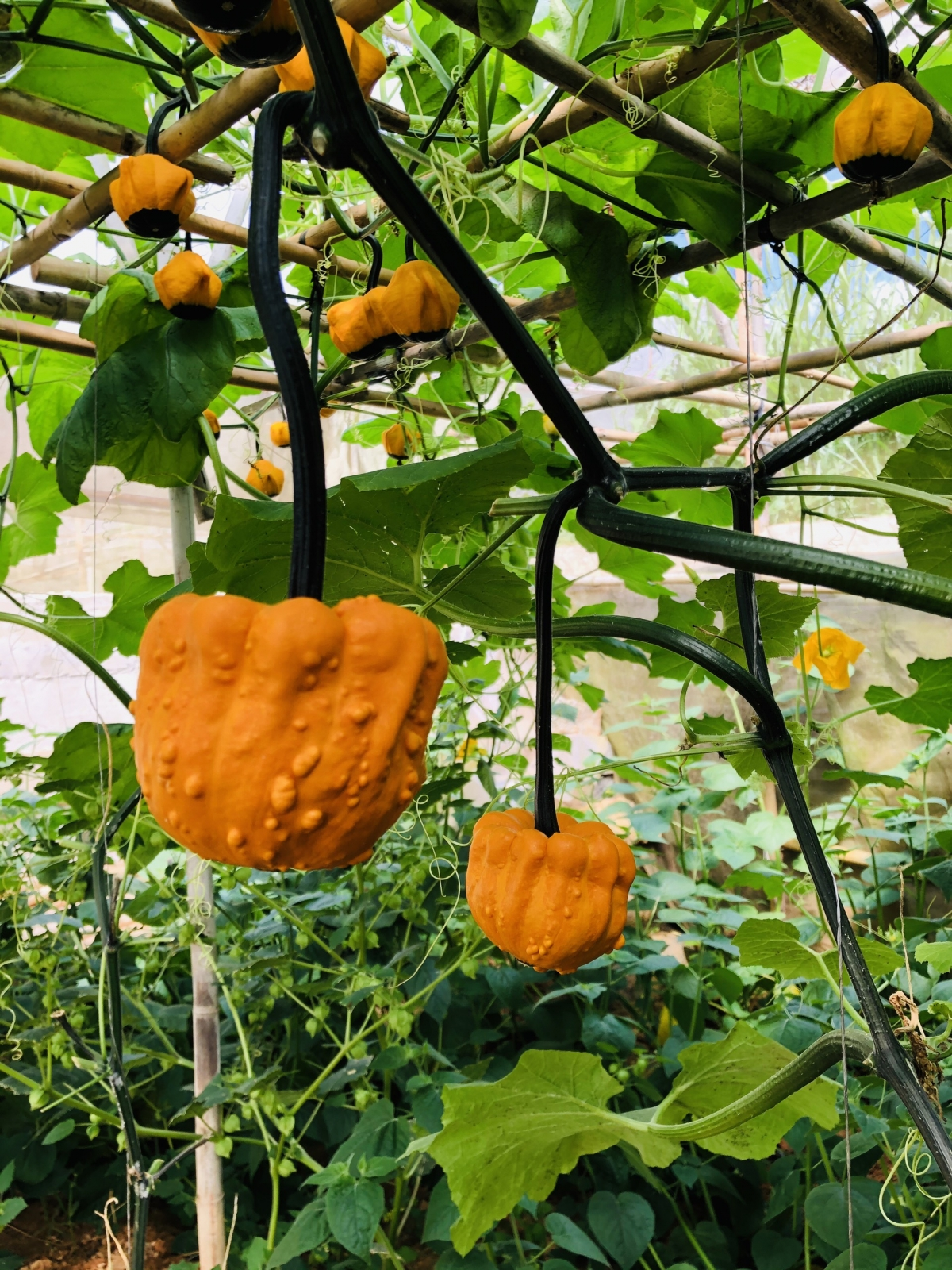 These pumpkins are typically ordered by hotels and restaurants nationwide.