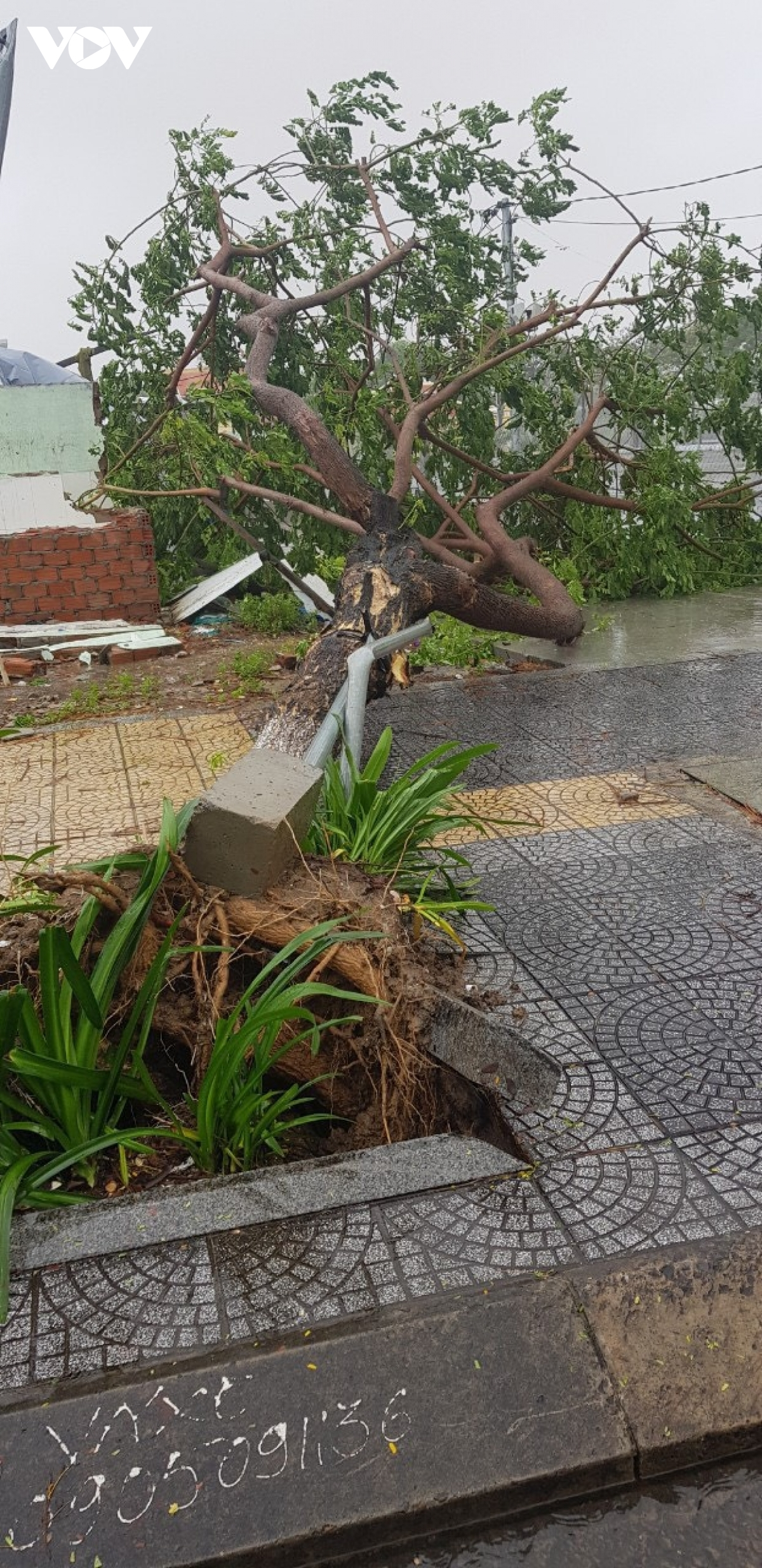 A giant tree blocks the pavement after being uprooted in Son Tra district, Da Nang.