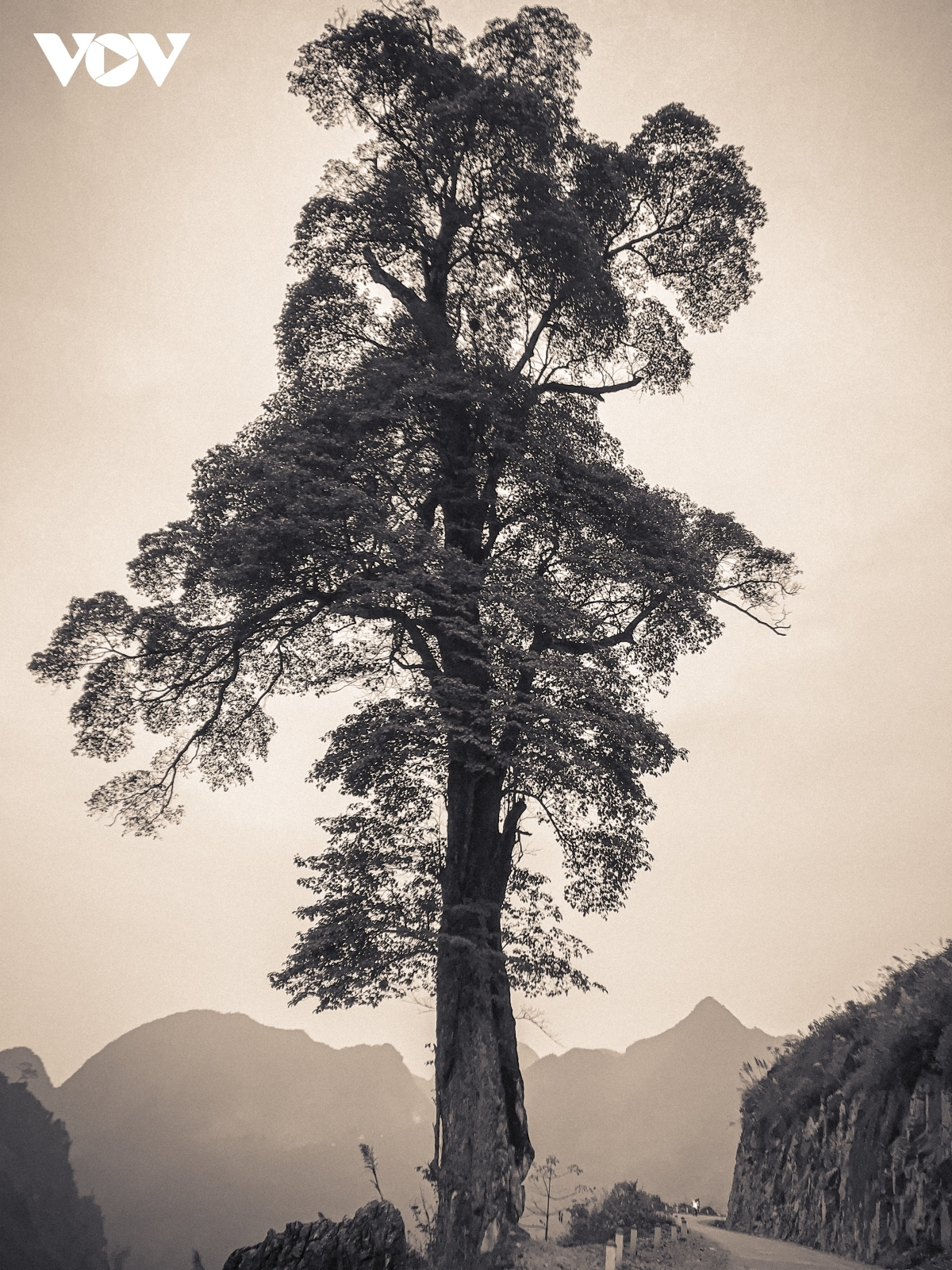 An old giant tree, found in Can Ty commune of Quan Ba district, attracts plenty of visiting photographers.