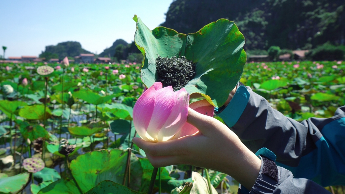 Năm nay, ngoài những bông sen nở muộn thì hồ sen Hang Múa còn khiến giới mê du lịch phát cuồng với những sản phẩm từ sen.