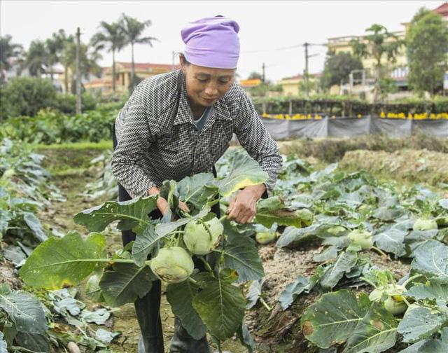Nông dân Hải Dương có thể mất hàng trăm tỷ đồng vì nông sản ùn tắc - Ảnh 1.