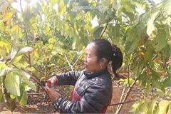 """Mang na Thái, Đài Loan về trồng trở thành """"tỷ phú na"""" vùng núi Tây Bắc"""