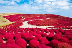 Đồi cỏ Nhật Bản chuyển đỏ khi thu sang