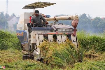 Người Hội An hối hả gặt lúa 'chạy' bão số 5