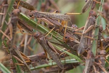 Loài châu chấu tràn vào Điện Biên có sức tàn phá thế nào?
