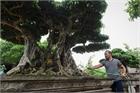 Cây sanh 200 năm tuổi ở Hà Nội