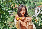 The persimmon gardens in Da Lat