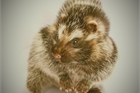 Loài chuột mang chất độc có thể hạ gục cả voi
