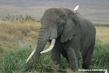 Những dòng code đang cứu lấy loài voi
