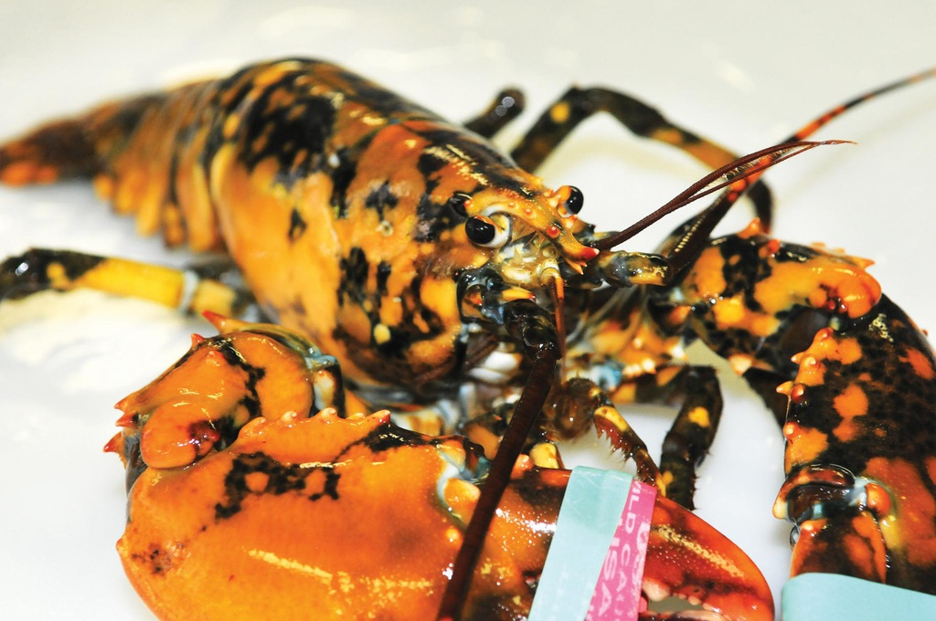 Nhung loai tom hum hiem nhat the gioi hinh anh 4 ODD_Calico_Lobster_ONe.jpg
